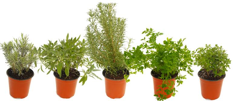Colosso Herbs in Gallon Pots