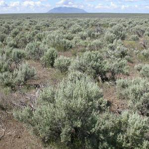 Wyoming Sagebrush
