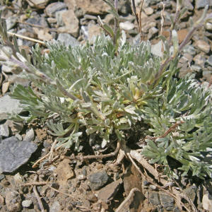 Black Wormwood