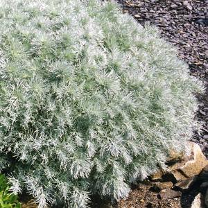 Silver Mound Wormwood