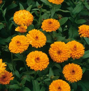 Erfurter Orange Calendula