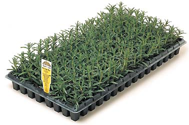 Lavender Plugs Wholesale