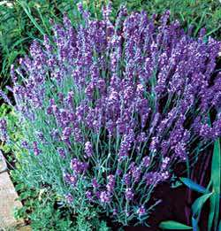 Buy Lavender Lady Plants>