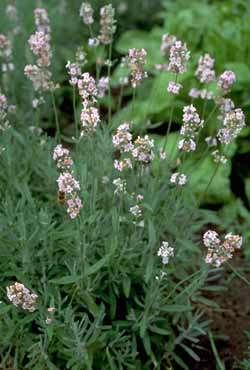 Buy Pink Jean Davis Lavender Plants