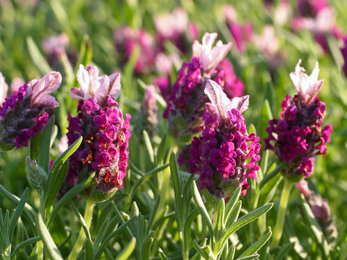 Kew Red lavender Plants For Sale - Buy Kew Red Lavender Plants