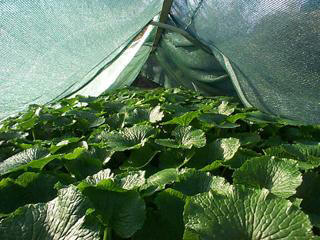 how to grow wasabi from seeds