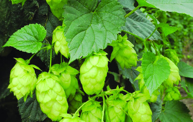 Hops Herb of the Year